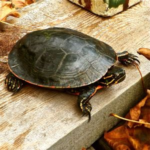 Painted Turtle DSCF8373 copy